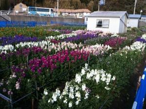 Shiramazu Hanabatake Flower Garden